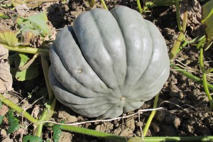 Courges 2013-09-23 006