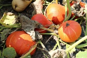 récolte potimarrons 2012-09-06 023